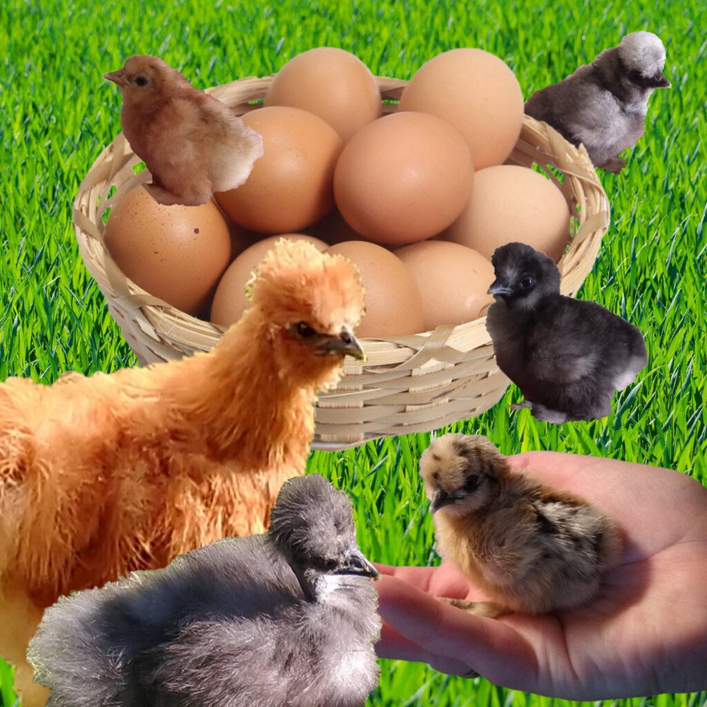 kyllinger og æg